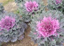 Coral Queen is a newer kale growing in Mississippi State University trial gardens. The foliage has a bright-red center with purplish-green edges. (Photo by MSU Extension/Gary Bachman)