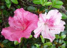 Conversation Piece Azalea is an alternate-season azalea that displays gorgeous flowers in midspring and in the fall. Each plant produces multiple flower colors. (Submitted Photo/LSU AgCenter)