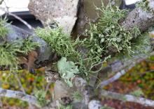 Lichen are an unlikely combination of fungi and algae living in a symbiotic relationship on the bark of plants. This type of lichen resembles highly branched balls of fuzz. (Photo by MSU Extension/Gary Bachman)