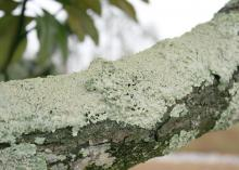 Lichens thrive when environmental stress causes a plant's canopy to thin out, letting more sunlight into the interior. This is a spreading type of lichen. (Photo by MSU Extension/Gary Bachman)