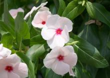 Popular flowering plants, such as this vinca, as well as herbs, vegetables and bedding plants will be available for purchase at the Mississippi State University horticulture club's annual spring plant sale April 5 and 6 in the greenhouses behind Dorman Hall. The sale runs from 9 a.m. to 5:30 p.m. on Friday and 8 a.m. to 1 p.m. on Saturday. (Photo by MSU Ag Communications/Gary Bachman)