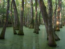 Researchers at Mississippi State University have released a free software program that will help foresters and landowners manage bottomland hardwood timber, such as this stand in southwest Mississippi. (Photo courtesy of Patrick Glass)