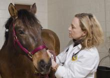 Dr. Cyprianna Swiderski, an associate professor with the Mississippi State University College of Veterinary Medicine, works with an equine patient in this file photo. Swiderski is the next chair of the Morris Animal Foundation's Large Animal Scientific Advisory Board. (Photo by the College of Veterinary Medicine/Tom Thompson)