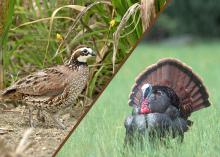 Wildlife biologists will address issues related to quail and turkey at gamebird seminars at the Mississippi Museum of Natural Science on Feb. 27. (File photo by MSU Ag Communications)