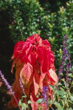 Botanically, the summer poinsettia is Amaranthus tricolor, also known as Joseph's Coat.
