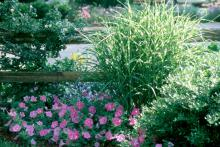 Regardless of the grass you choose, plant nursery-grown transplants into loose, well-prepared beds, rich in organic matter.