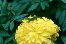 Another great fall bloomer to plant now is the marigold.
