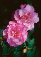 Camellias enhance the landscape like no other shrub with their glossy green leaves and exotic looking blooms.