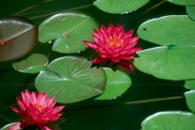 Nurseries and garden centers now stock everything you need to install your own water garden including aquatic plants and koi.