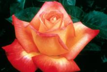 Love & Peace exhibits the classic hybrid tea form and shows a family resemblance to its parent, Peace, the most honored rose of all time.