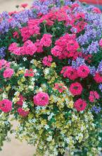 Bodger Botancials, a division of Bodger Seed, is introducing the Trumpet petunias .. The petunias with wavy margins are sure to be a hit in gardens and baskets alike.
