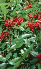 The aucuba is one of the best shrubs for the South, even though it comes from the Himalayas and Japan.
