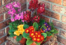 The vibrant colors of the primula, or primrose, would bring a smile to anyone's sweetie. Primulas will produce their colorful flowers non-stop until May (bottom).