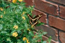 This Giant Swallowtail butterfly has found New Gold lantana, the 1996 Mississippi Medallion winner, to be the perfect feast. New Gold is one of those plants that is tough as nails.