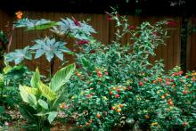The castor bean with its large palante leaves looks exotic and tropical in this garden with cannas, lantana and buddleia.