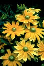 Prairie Sun, an All-America Selections winner this year, will reach from 24 to 36 inches in height and probably will be the most attractive flower in the landscape throughout a long blooming season. It produces 5- to 9-inch flowers on 18-inch stems.