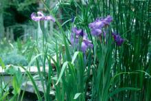 The Japanese iris