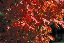 Autumn Blaze maple is a 2003 Mississippi Medallion winner for its outstanding performance in the Hospitality State. These maples are a fast-growing species with spectacular fall color and few insect or disease problems.