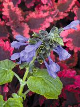 Costa Rica Blue salvia