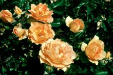 Eureka rose plants produce an explosions of color in an unusual gold shade that some call copper apricot. The large flower clusters are widely spaced, which makes this rose a wonderful anchor for a corner of the garden throughout the growing season.