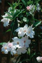 Gardeners who like white with a blush of pink will love White Delight .