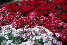 Amazon Rose Magic and Amazon Cherry display rich and vibrant colors in this bed at the Truck Crops Branch Experiment Station near Crystal Springs. Here, they are combined with Tidal Wave Silver petunia.