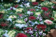 Flowering kale and cabbage excel in beds of brightly colored pansies, violas, panolas and snapdragons.