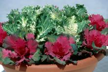 Kale and cabbage also are exceptional in large containers with three in a triangular design. Plant tulips or daffodils in the center of the triangle and then place pansies around the edges.