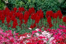 Known as hybrid pinks, these plants give outstanding color in red, pink, white and every blend of the three. In addition to their cheerful colors, they also have a delightful fragrance.