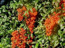 With almost indescribable leaf color and huge panicles of bright red berries, nandinas are among the very best shrubs for fall and winter color in terms of both leaves and fruit.