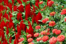 Thriving in the summer heat and humidity with drought or rainy conditions, Fresh Look Red decorates a garden or patio container with rosy red plumes.
