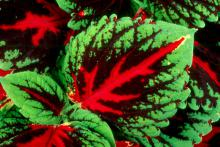 Kong red coleus displays a broad vein in a brilliant red down the center of each leaf. These shade-loving plants produce leaves large enough to cover a person's face and also come in scarlet, rose and mosaic colors.