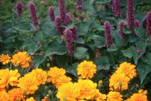 In the flower garden, plant Honey Bee Blue boldly in drifts adjacent to gold-yellow and orange marigolds .