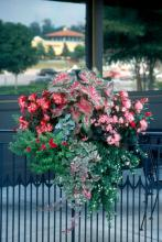 "These popular new ""designer"" hanging baskets look great with one blooming species covering the basket, or with three to five species artistically placed with color and texture in mind."