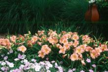 Mixing daylilies is still fun, but the trend is massing the single colors.