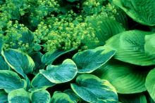 The hosta is in the lily family and has the common name of Plantain Lily. Despite the fact that they are cold-hardy way up north in zone 4, their beauty and leaf texture add a tropical flair to the garden.