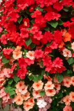 The Cancun Mix of Tempo Impatiens will literally pop out of the shady garden, making everyone take notice.