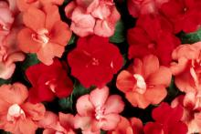 The new Salsa Mix of semi-double Fanciful Impatiens has similar colors to the Cancun Mix, but the flowers take on a semi-double, or rose-like, form.
