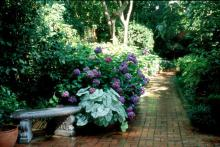 The colorful-leafed caladiums give a lush, cool, tropical feeling to any part of the landscape, and light up areas like this shady garden sidewalk.
