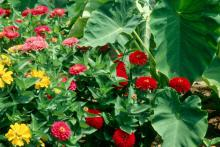 Dreamland zinnias produce enormous flowers reaching close to 4 inches wide that almost resemble those on a homecoming mum. The bright, colorful flowers are produced on short, stocky plants that reach just 18 inches tall.
