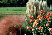 Try growing them in beds with deep pink shrub roses, or place them in front of other grasses like dwarf pampas, purple fountain or black bamboo. Group three together for an especially showy display.