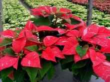 A popular poinsettia variety is the Sonora Jingle Bells. It features dark red bracts with white flecks, giving it a peppermint look.