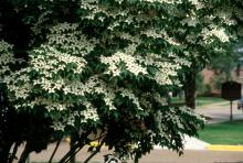 Though the brilliant white may look like a flower, it is actually a bract, similar to the red part of a poinsettia.