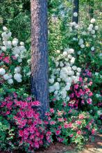 Try planting the snowball viburnum behind or in conjunction with azaleas. It performs best in the same moist but well-drained shady environment that azaleas prefer, and it makes an incredible companion plant, usually blooming in sequence with Southern Indica azaleas.