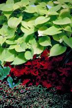 Verbena (Verbena canadensis, V. tenuisecta and hybrids)