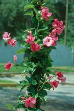 Though the Mandevilla is from Brazil, it looks and performs like one of the locals. This hybrid Mandevilla Alice du Pont is at the top of the list of plants that will bloom all summer and right up until fall.