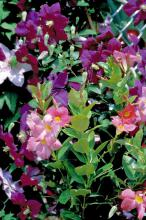 This clematis combines well with the Mandevilla, providing the perfect mixture of Southern perennial and Brazilian tropical for a bold and spectacular display.