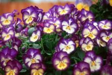 The Ultima series of pansies have unique color combinations that catch the eye of visitors. The Ultima Radiance Blue is richly colored with blue-cream and yellow in an unusual pattern.