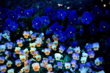 Peach Frost violas from the Sorbet series offer a wide range of colors beginning with blue and moving toward a center of creamy yellow with a splash of hot orange. They are spectacular in this bed with True Blue Panolas.