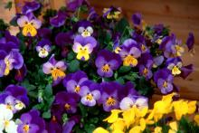 """Splendid violas offer attention-grabbing color with a deep blue and a splash of yellow. Their enticing fragrance encourages people to """"stop and smell the violas."""
